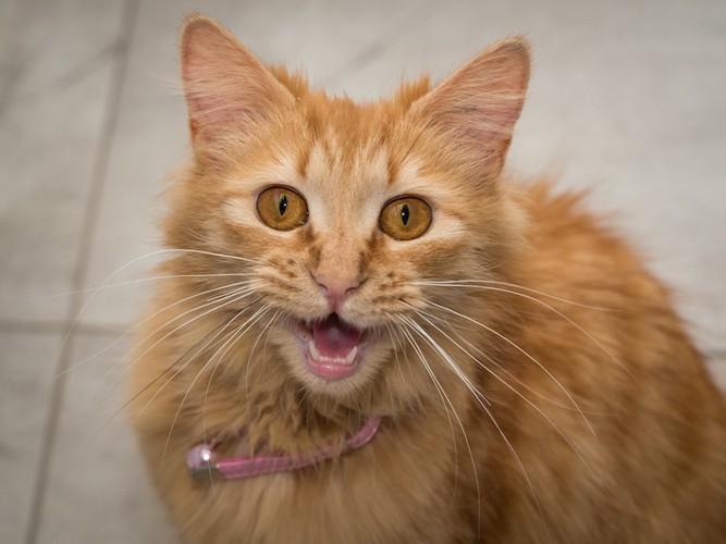 こちらを見つめて鳴く猫