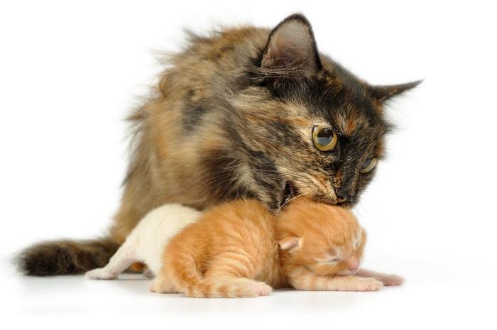 子猫の首をくわえようとする母猫