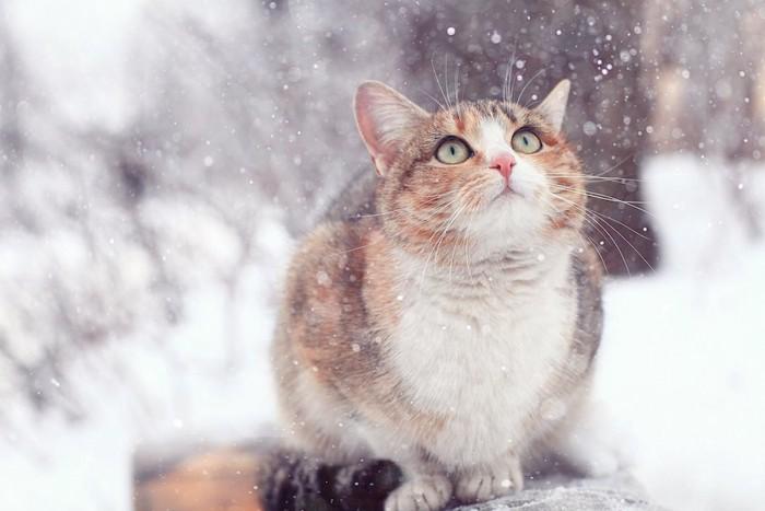 降る雪を見上げる猫