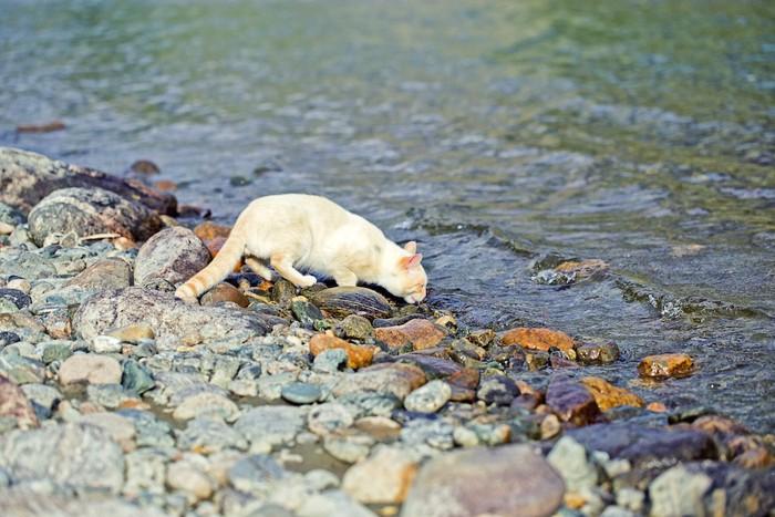 川の水を飲む猫