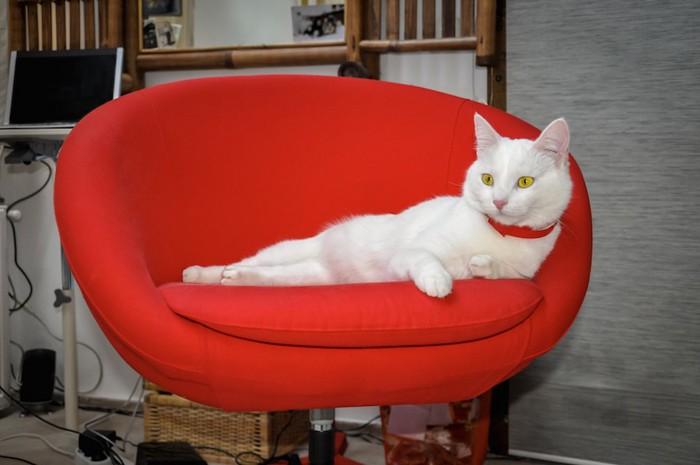 赤いオシャレな椅子でくつろぐ白猫