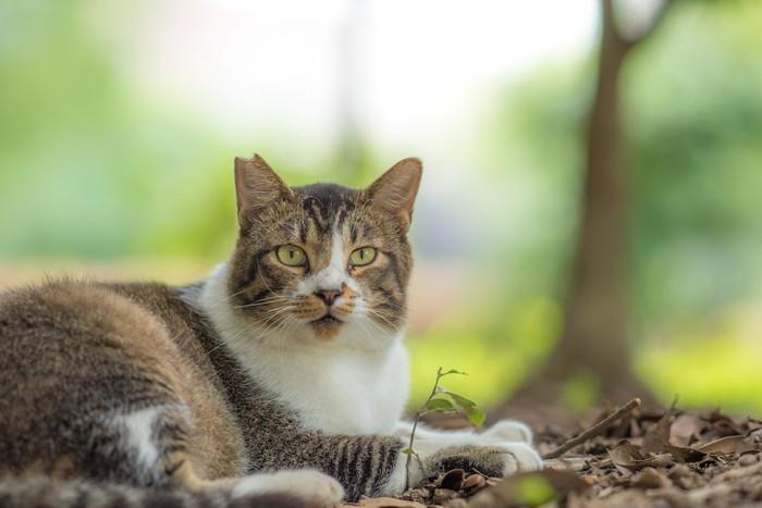落ち葉の上で休むさくら猫