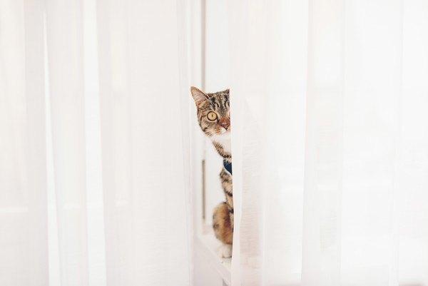 カーテンから覗く猫