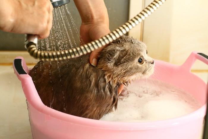シャワーを浴びる子猫