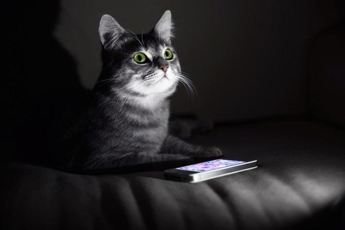 スマホでゲームする猫