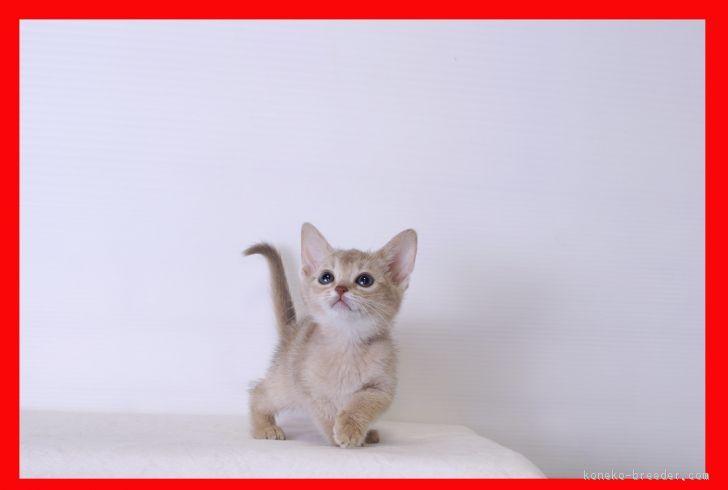 子猫のアビシニアンフォーン1