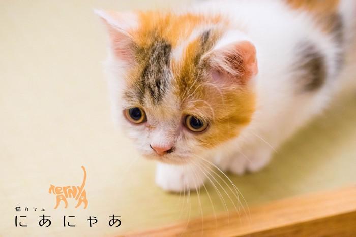 梅田の猫カフェ「SAVE CAT CAFE」の猫さん