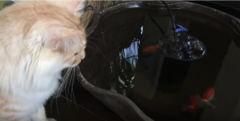 別の金魚をみる猫