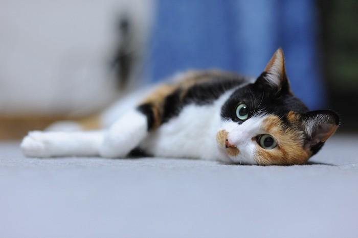 床に寝転んでくつろぐ三毛猫