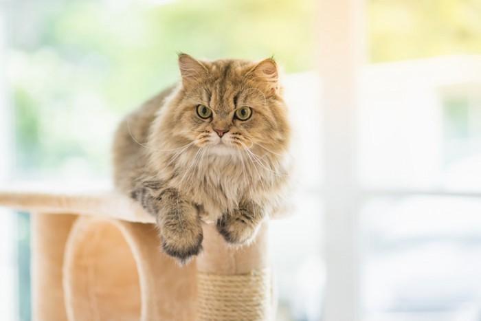 キャットタワーで座る猫
