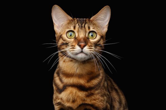 真剣な表情の猫