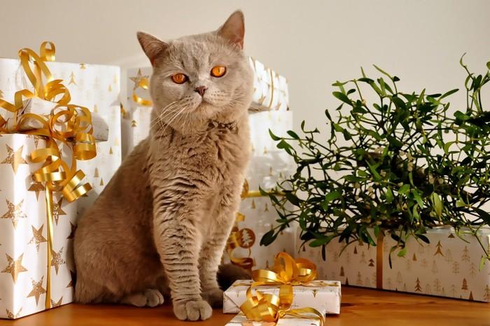 プレゼントに囲まれて座るブリティッシュショートヘア