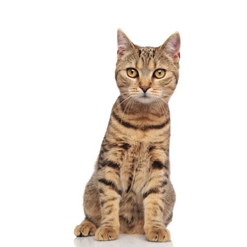 かわいく座るタビー柄の子猫