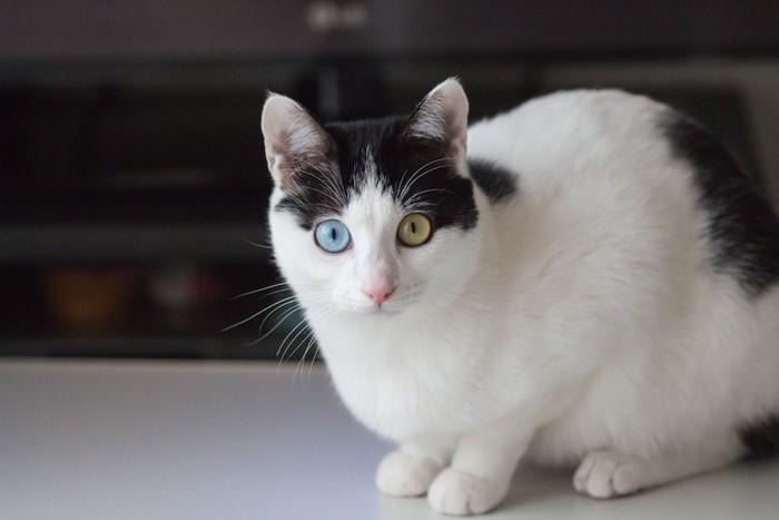 こちらを見つめるオッドアイの白黒ブチ猫