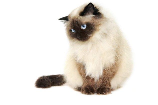 下を向いているヒマラヤン猫