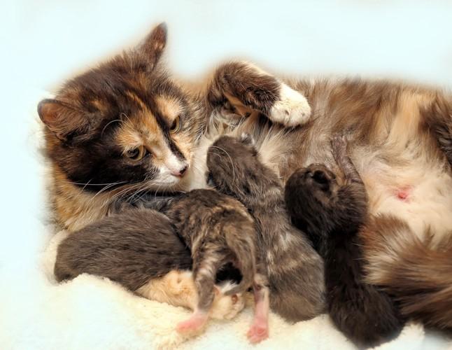 子猫に母乳を与える母猫
