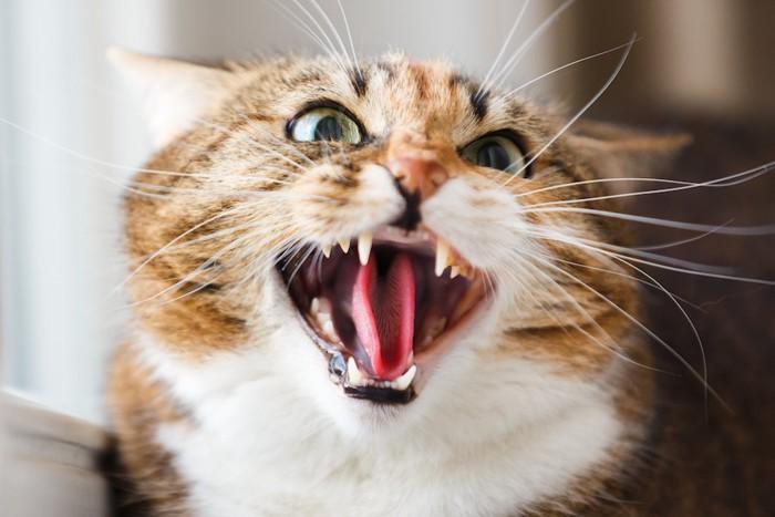 怒って威嚇している猫の顔アップ