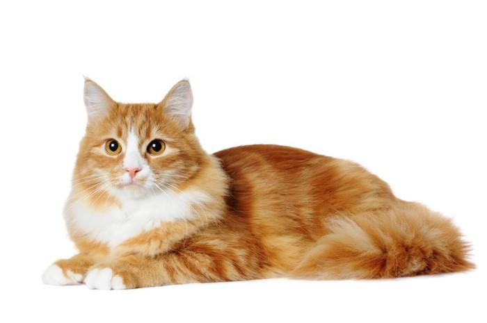 きれいな毛並みの長毛猫