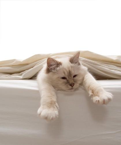 布団の中から手を伸ばす猫