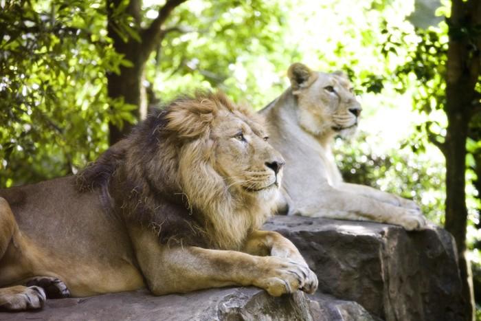 岩の上で休むオスとメスのライオン