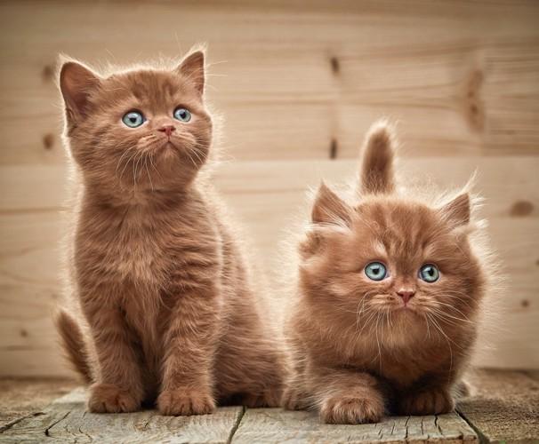 チョコレート色の子猫達