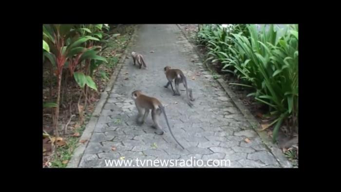 増えてる猿