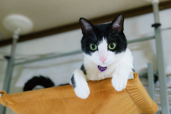 高いところにいるは黒白猫