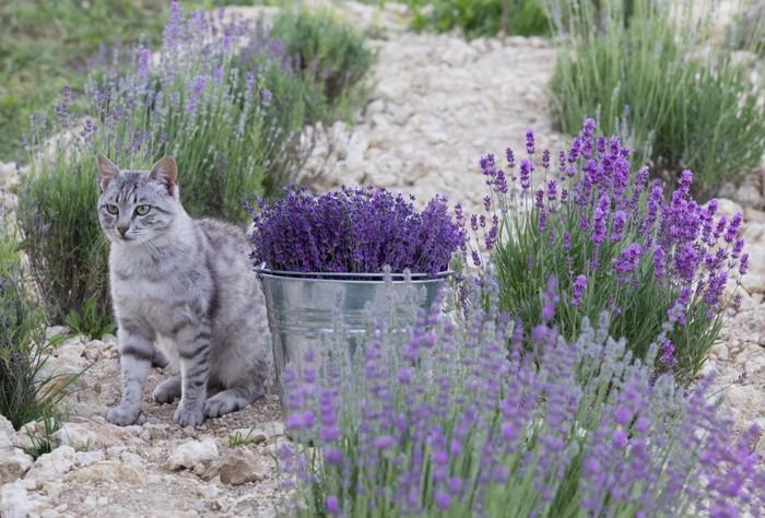 ラベンダー畑にいる猫