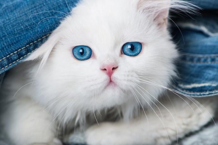青い瞳の白いペルシャ猫