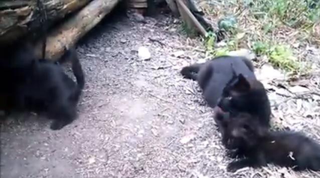 子猫を毛づくろい中、他の子猫を見守る母猫
