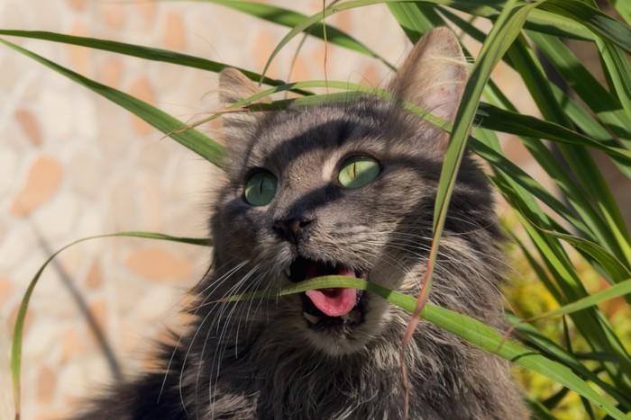 レモングラスをかじる猫