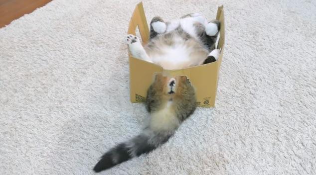 仰向けに寝る猫(おしりの方から撮影)