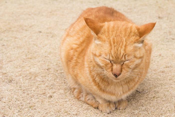 両目をつぶる茶色の猫