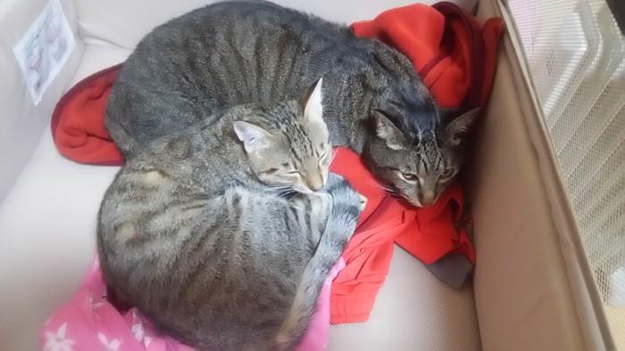 二匹で寝ている猫