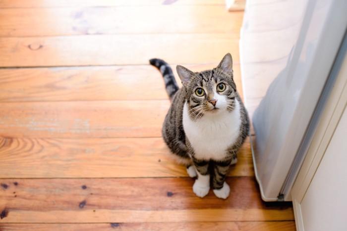 フローリングの上に座りこちらを見上げる猫