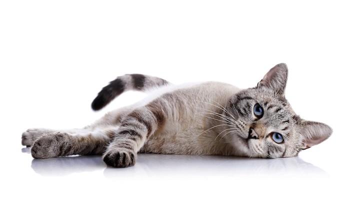 横になって休むブルーの瞳の猫