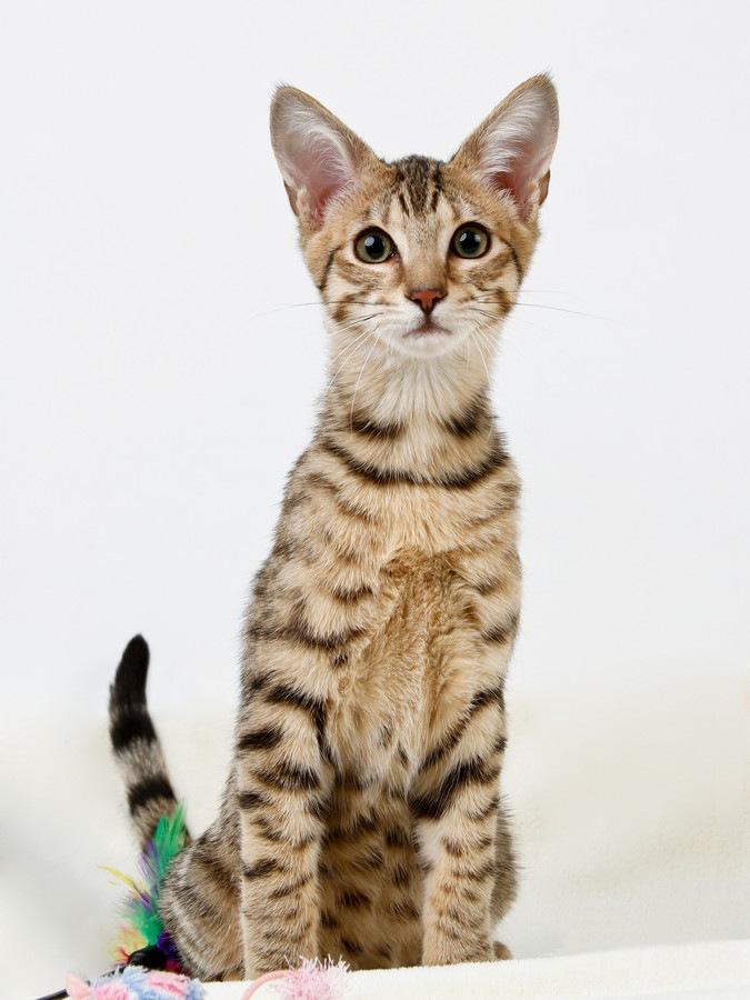 サバンナ猫