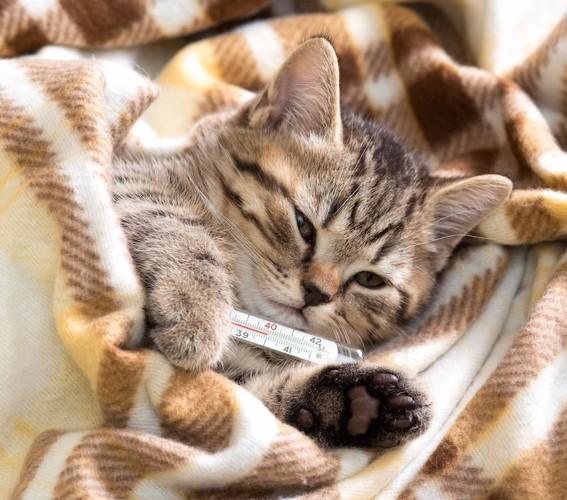 毛布にくるまり体温計を脇に挟んでいる子猫