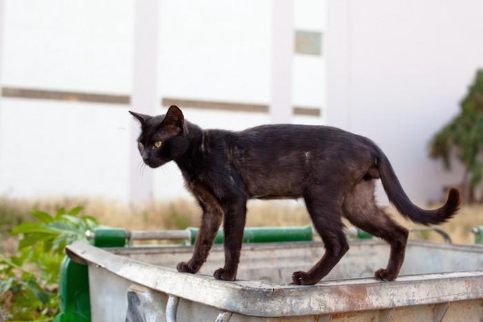 スリムな黒猫