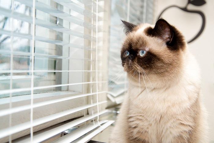 窓の外を見るエキゾチック