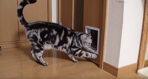 ネコ用ドアを覗き込む猫