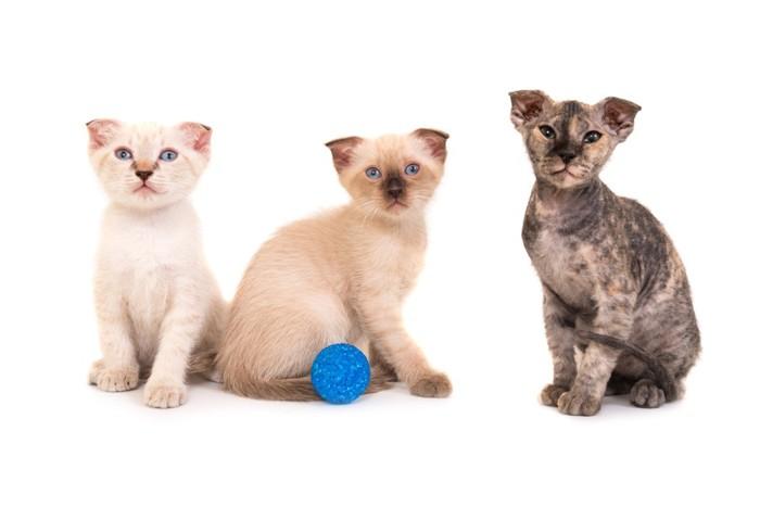 ユークレイニアンレフコイの子猫3匹