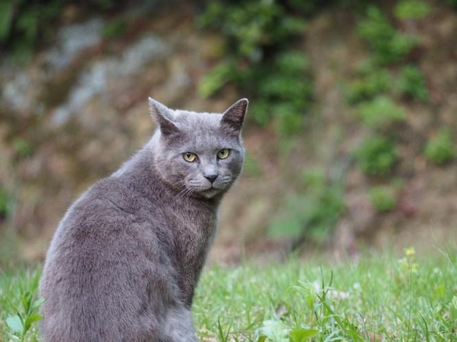 灰色の野良猫