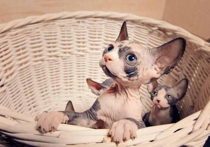 籠から顔をだすスフィンクスの子猫