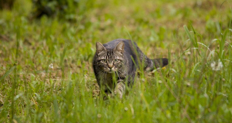 草の中を歩く縞猫