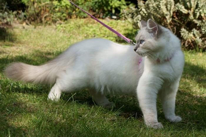 リードを付けた白猫