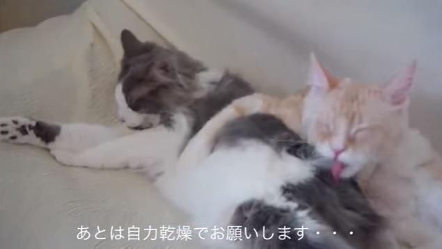 グルーミングしている2匹の猫