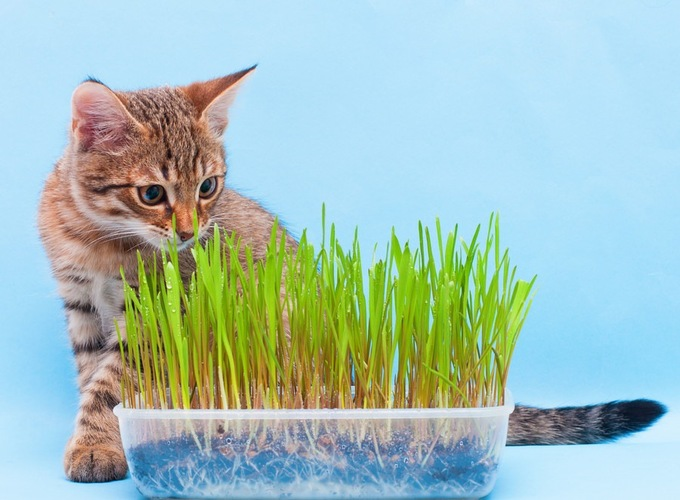 猫草を育てている猫