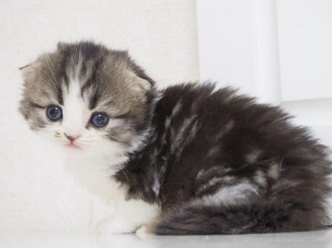 スコティッシュフォールドの子猫1