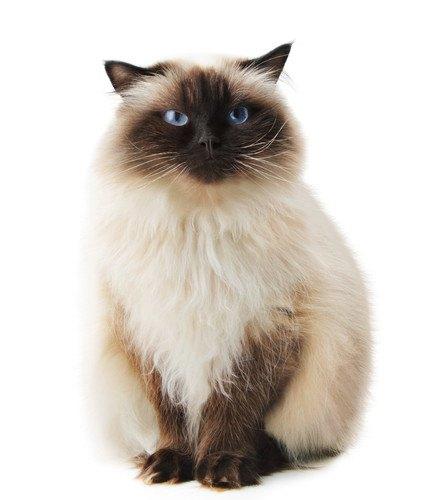 菜々緒さんが飼っていそうな猫
